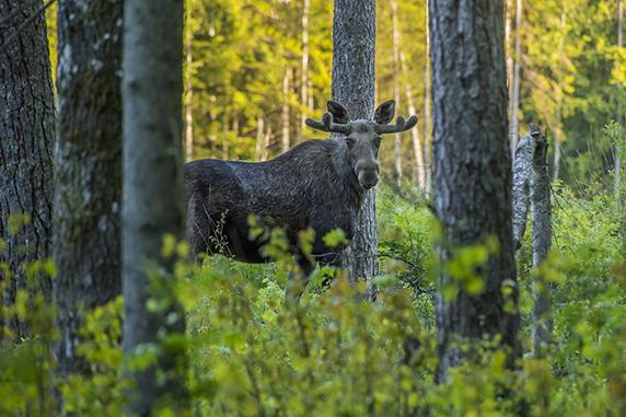 En älg med horn som står i skog och kollar mot kameran.