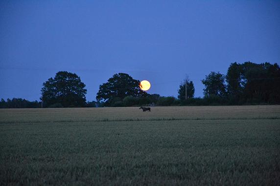 En älg springer över en åker i skymning, i bakgrunden syns en stor måne.