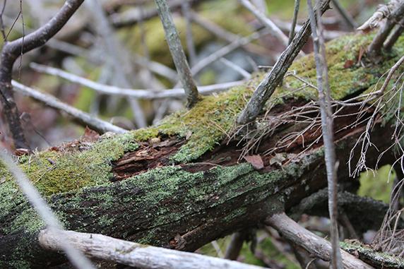 Närbild på ett fällt träd.